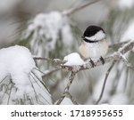 Black Capped Chickadee On A...