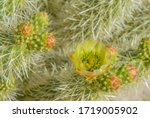 Teddy Bear Cholla ...