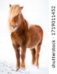 The Icelandic Horse Is A Breed...
