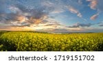 Rapeseed Field At Sunset....
