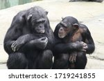 Two Chimpanzees Sitting Next T...