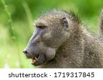 Big Baboon In The Kruger...