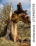 Dry Thick Huge Broken Tree Lies ...