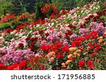 Stock photo beautiful multi colored rose garden in spring 171956885