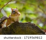 Eastern Chipmunk On A Log...