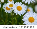 Many Marguerites On A Meadow O...