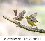 Common Sparrow Fighting With...