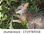 Tammar Wallaby Feeding On Leaves