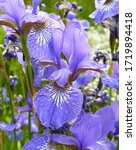 Blossoming Blue Iris Flowers In ...
