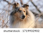 Rough Collie Is A Breed With A...