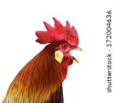 Singing Rooster Portrait...