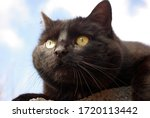 Portrait Of A Black Cat. Black...