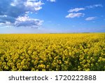 Yellow Colza And Blue Sky