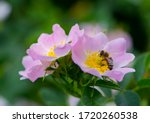 A Bee Collects Pollen From A...