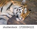 Tiger Sleeping On The Ground...