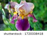 Delightful Purple Iris In The...