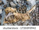 Carcass Of A Dead Mule That Was ...