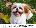 Cute Shitzu Puppy In The Park