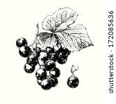 hand drawn vine of grapes with... | Shutterstock .eps vector #172085636