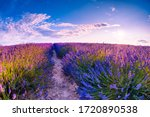 Field Of Lavender Flowers At...