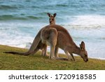 Family Of Two Kangaroos  Mother ...