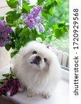 White Pekingese On A Background ...