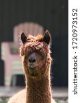 White Alpaca   Photograph Of A...