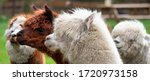 Four Alpacas  In Panorama  A...