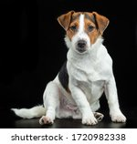 Jack Russell Terrier  Dog On A...