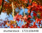 Red Maple Leaves During Autumn...