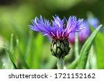 Mountain Knapweed  Centaurea...
