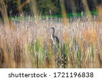 Tall  Blue Heron Bird Hunting...