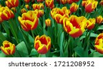 Red Yellow Tulips Against Gree...