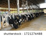 Dozens Of Cows Imprisoned In A...