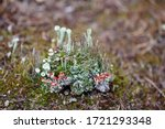 An Isle Of Various Lichens. A...