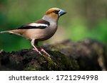 A Grosbeak  Is Sitting On An...
