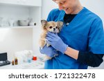 Small photo of In a modern veterinary clinic, a thoroughbred Chihuahua is examined and treated on the table. Veterinary clinic