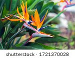 Bird Of Paradise Flower In A...