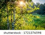 Sunset In Summer Birch Forest ...