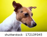 nice jack russel terrier dog is ... | Shutterstock . vector #172139345