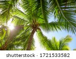 Large Green Branches On Coconu...
