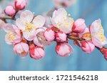 Flowering Fruit Trees. Apricot...