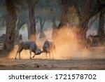 Eland Antelope  Taurotragus...