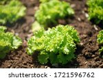 aerial view of a green lettuce... | Shutterstock . vector #1721596762