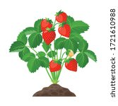 Strawberry Plant Growing In The ...