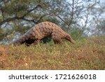 Indian Pangolin Or Anteater ...