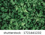 Natural Background Of Green...
