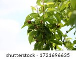 Young Fruits On The Branch Wit...