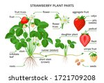 strawberry plant parts ... | Shutterstock .eps vector #1721709208