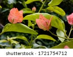 Bougainvillea Spectabilis Are...